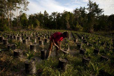 שמן הדקלים דוחק את הגידולים הטבעיים